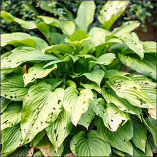Hosta Damaged By Slugs