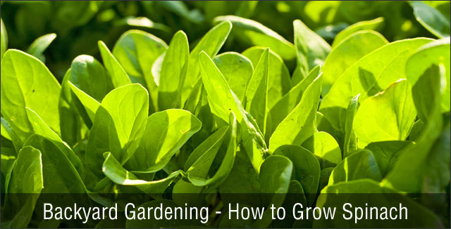 Backyard Gardening - How to Grow Spinach
