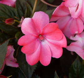 Impatiens shade-loving plants