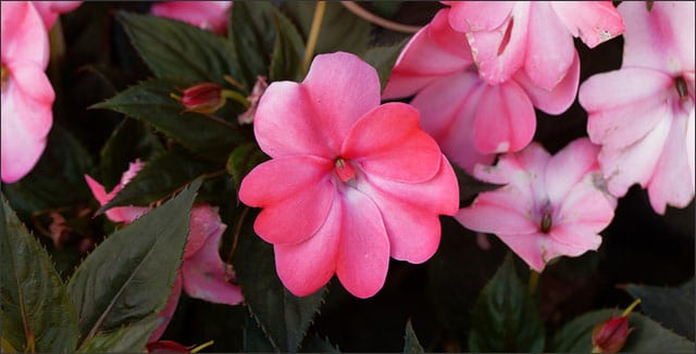 Impatiens shade-loving plants
