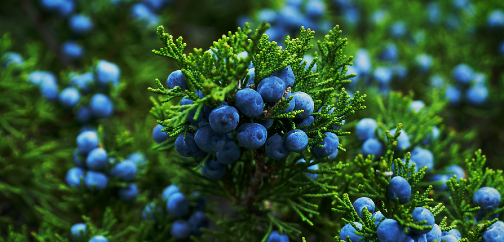 Juniper bush with berries