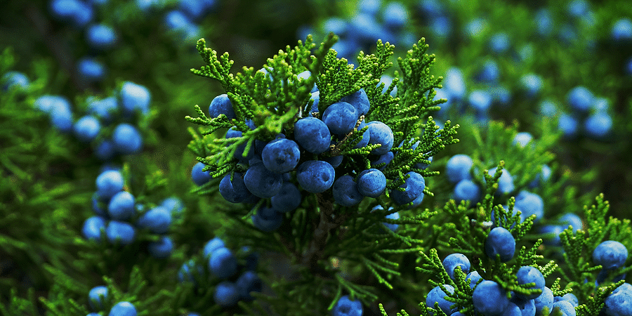 The Amazing Juniper Bush What You Ll Want To Know