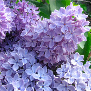 How to Plant and Care for Lilacs Shrubs