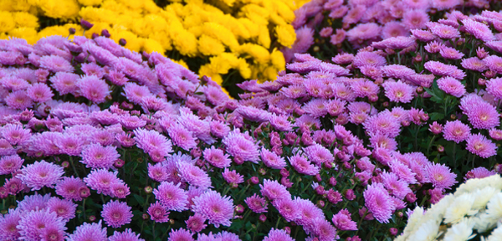 How to Grow Marvelous Mums