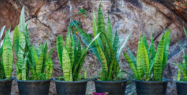 Popular Mid-Century Modern Houseplants -Snake Plants