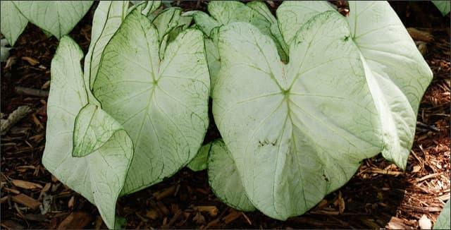 Moonlight caladium plant