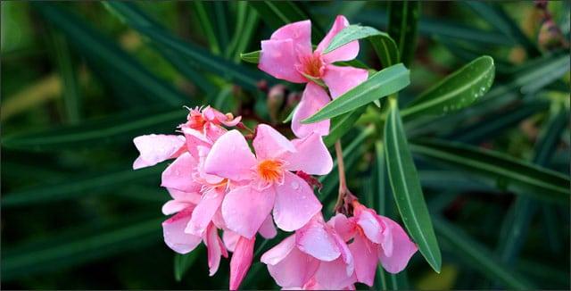 Oleander shrub flower