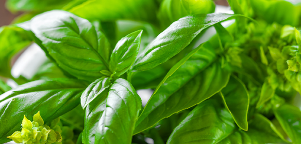 How to Grow Organic Basil At Home