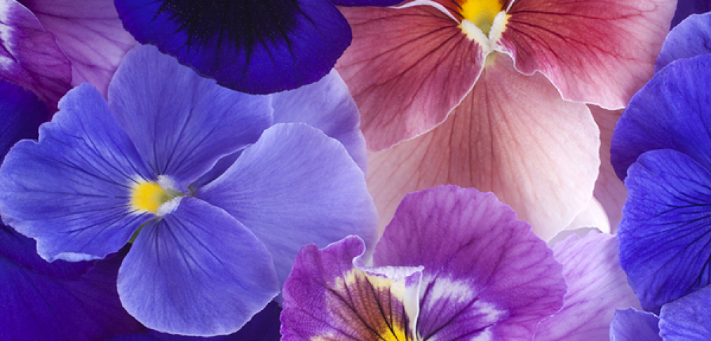 When to Plant Pansies and How to Do it
