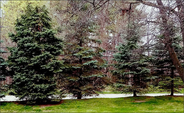 Pine trees - one on left with Rootwell Pro-318s