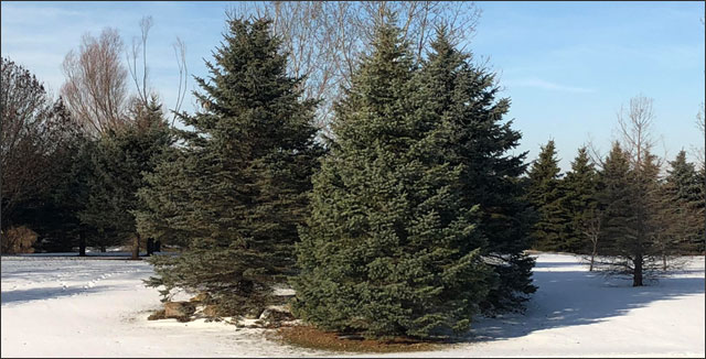 pine trees 101 top tips on how to prune and care for evergreens