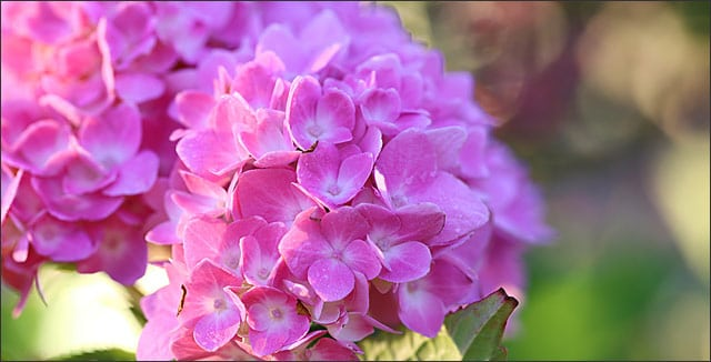 Pink flowers on endless summer hydrangea
