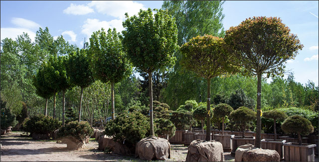 Trees at nursery depicting planting trees.