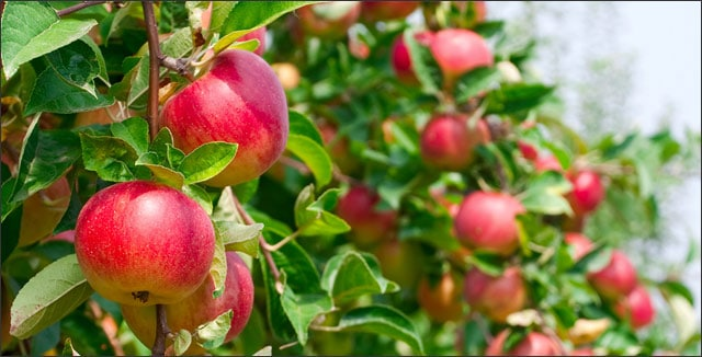 Apples on tree - why plants fail to produce fruit