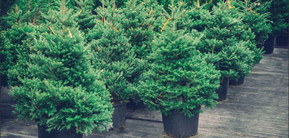 How to Keep a Potted Christmas Tree Alive