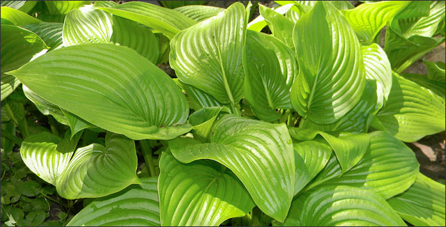 Hosta depicting propagating hostas