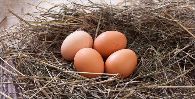 Fresh eggs in nest depicting backyard chicken keeping