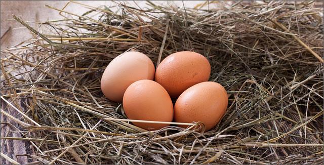 Fresh eggs in nest depicting backyard chicken keeping