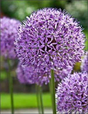 Purple Sensation Allium from spring flowering bulbs