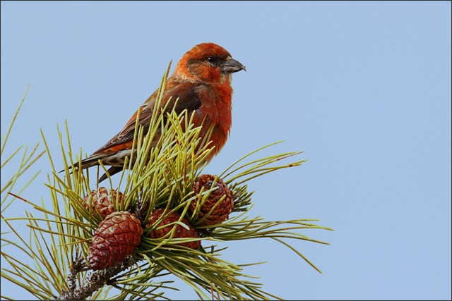Winter birding - Red crossbill