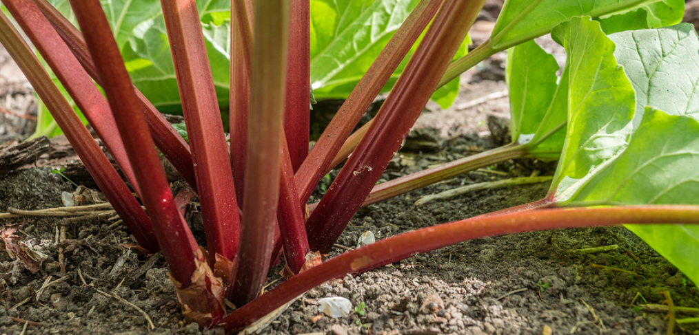 Surprising Uses of Rhubarb - Gardening Tips