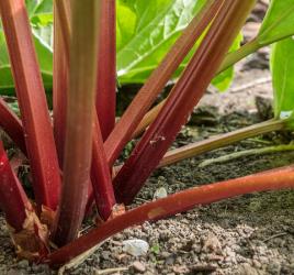 Surprising Uses of Rhubarb - Gardening Tips