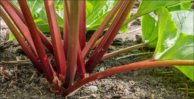 Close up view of rhubarb plant