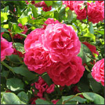How to Water Rose Bushes