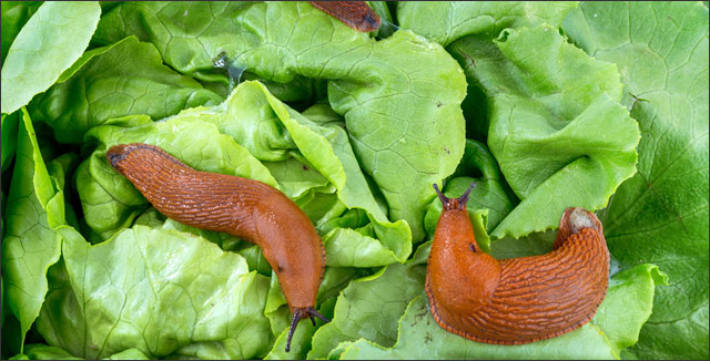 5 simple ways to keep slugs out of your garden for How to keep slugs out of garden