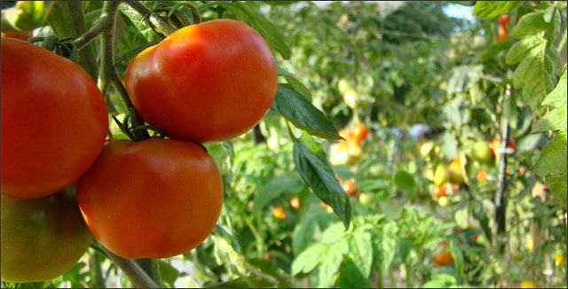 Tomatoes in small vegetable garden