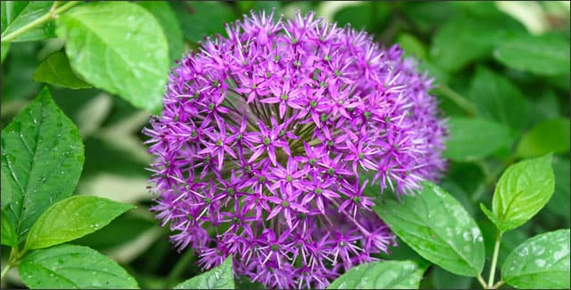 Purple Sensation Allium - spring flowering bulbs flower