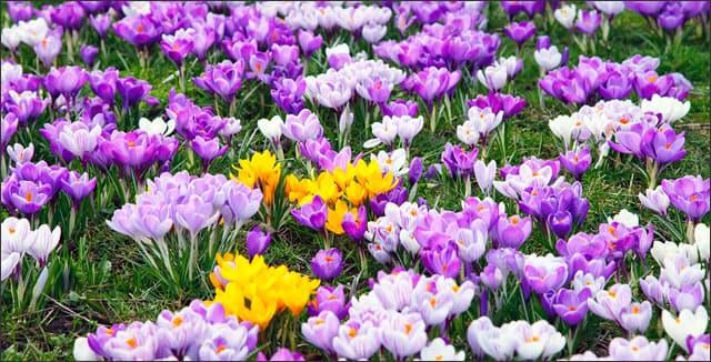 Early spring flowers - crocus