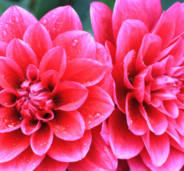 Dahlias - from summer blooming bulbs
