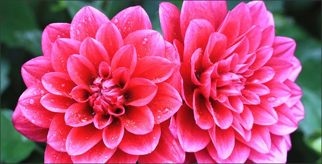 Dahlias from summer blooming bulbs o tubers