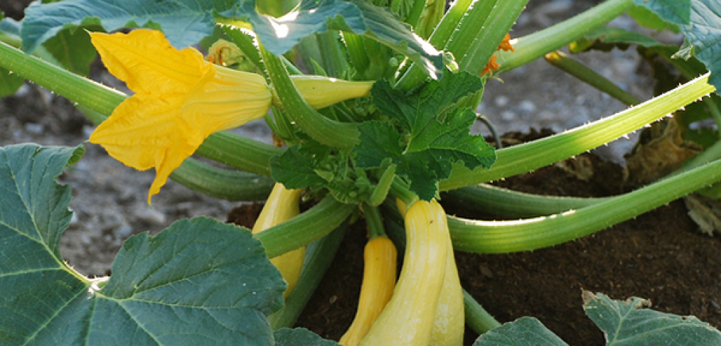 How to Grow Summer Squash with Ease