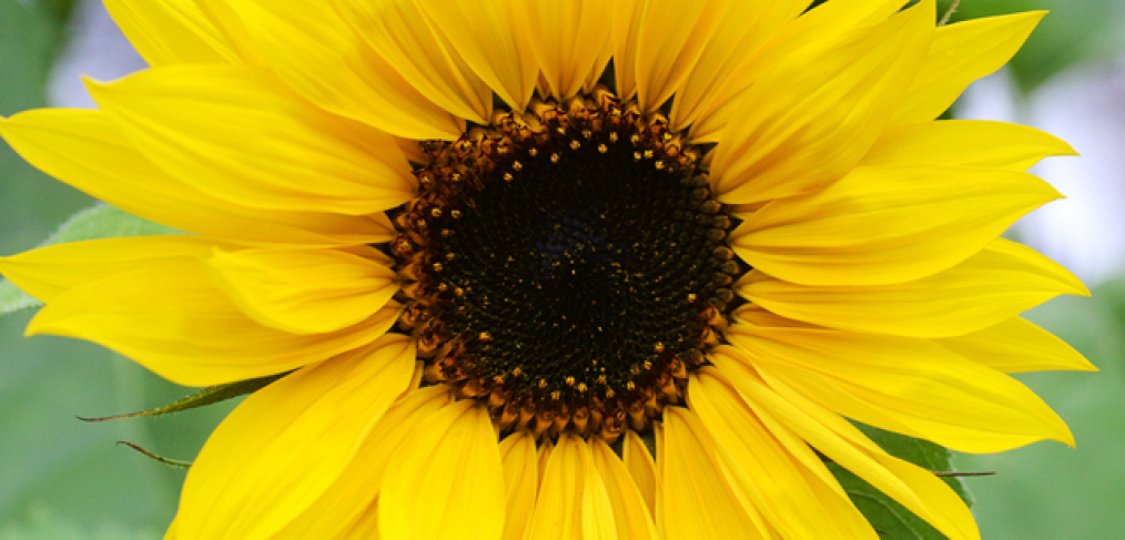Growing Sunflowers – Everything You Need to Know