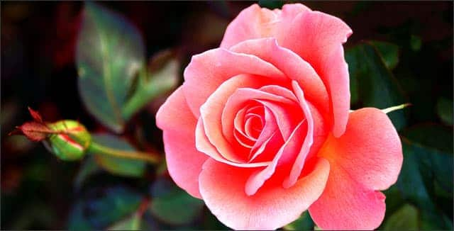 Rose depicting how to protect roses in winter