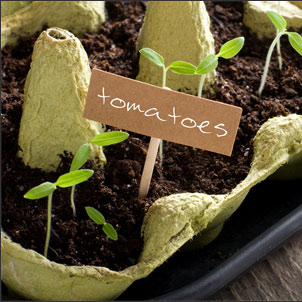 Tomato seedlings in egg-carton