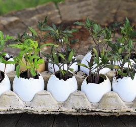 Cost-Effective Gardening Tips & Tricks - Tomato seedlings in egg shells