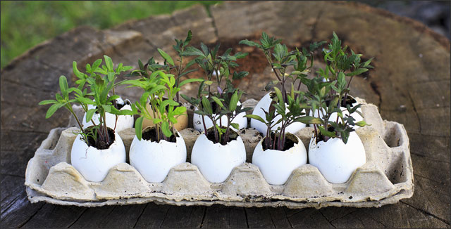 Cost-Effective Gardening Tips & Tricks - Tomato seedlings in egg shells
