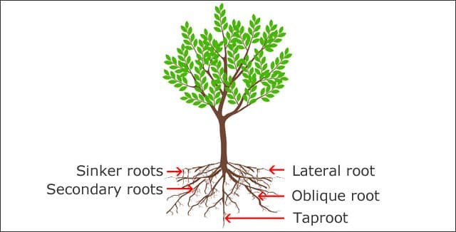 Anatomy of tree roots