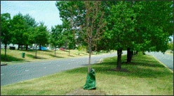 Tree with water bag on median now dead