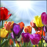5 Steps to Plant and Care for Tulips