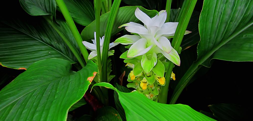 Flowering turmeric plant