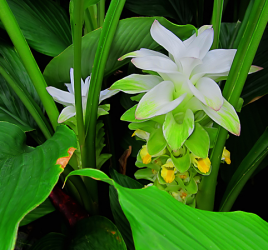 Flowering turmeric plant