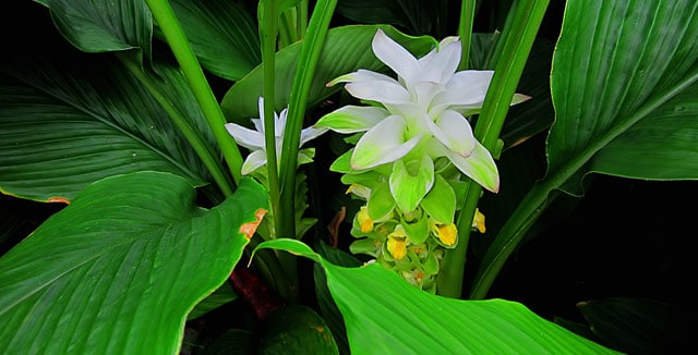 Turmeric plant with flower