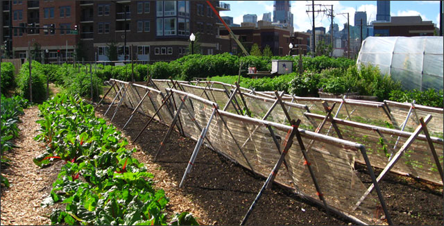 Urban gardening in Chicago