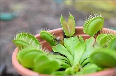 Venus Flytrap plant eating bug