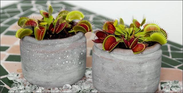 Venus Flytrap plants in pots