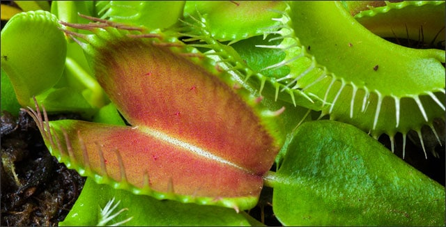 The Other Day I Saw A Whole Rack Of Venus Flytraps Dionaea Musci For At Aldi All Places Didn T Know Anything About These Plants